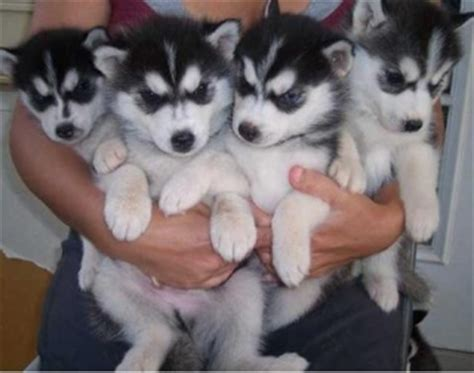GORGEOUS LOVELY SIBERIAN HUSKY PUPPIES FOR ADOPTION NEW