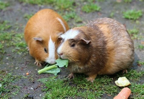 Which Small Rodents Make Good Pets? - Pet Mice Blog