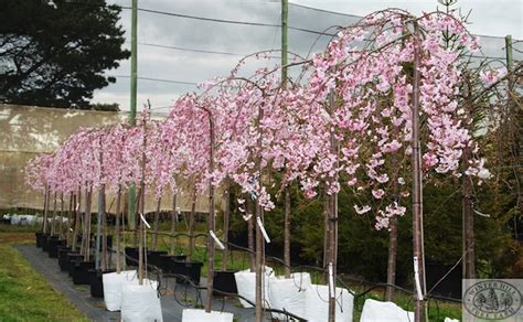 Weeping Cherry Tree Clearance - News, Plant Sales & Plant