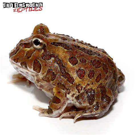 Chocolate Pacman Frog For Sale - Underground Reptiles