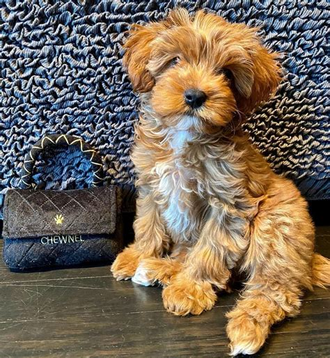 CAVAPOO PUPPIES FOR SALE NEAR ME - Home